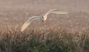 Rivar Hill Owl